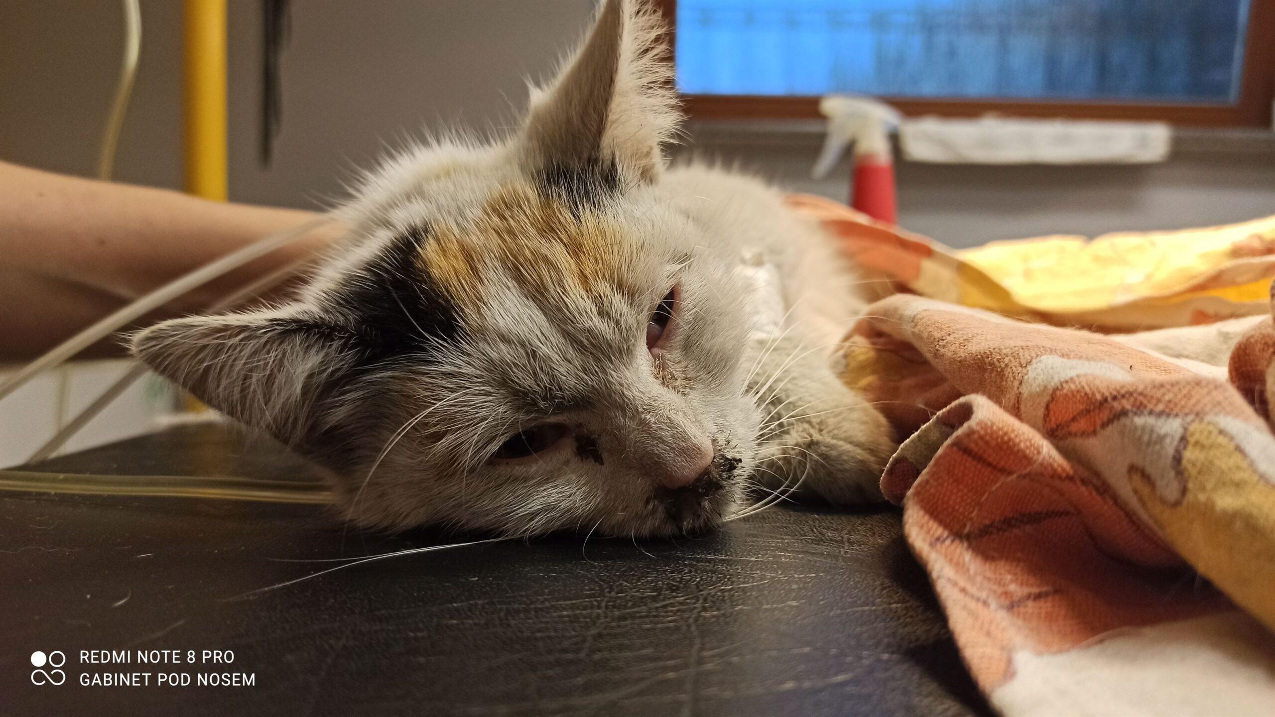 Kalendarz szczepień kota